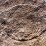 ディッキンソニアって何?大きさや何年前に生息?最古の動物と判明!